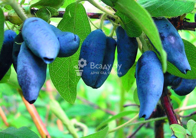 Чем подкормить жимолость осенью для хорошего урожая