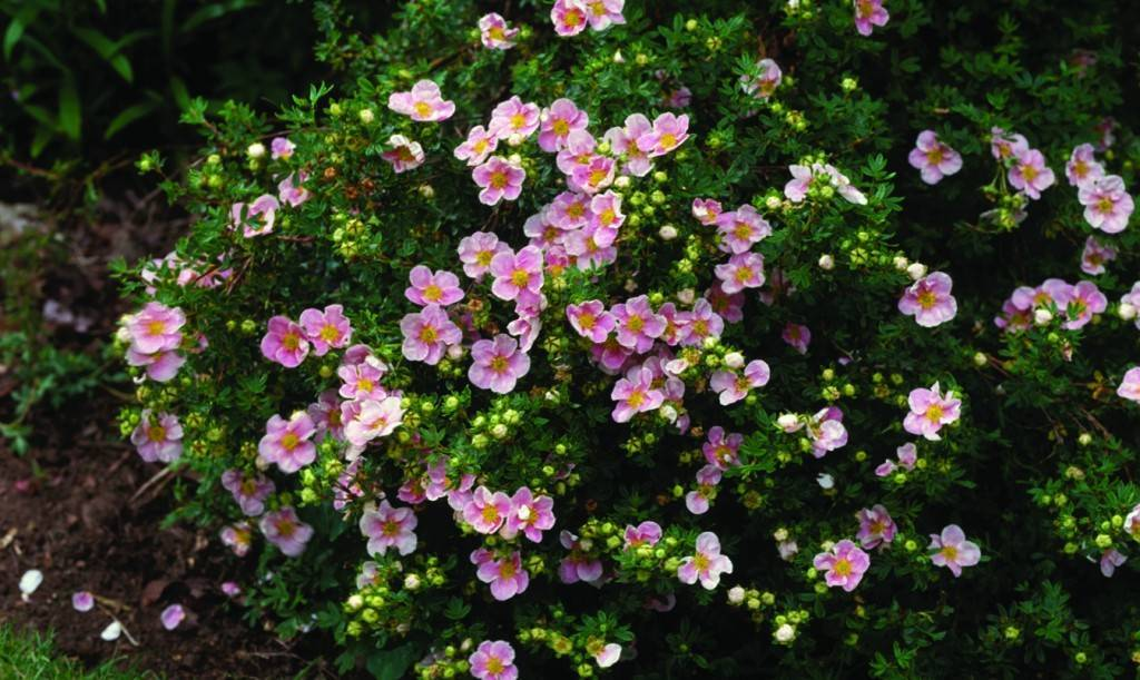 Розовые лилии (41 фото): описание «пинк перфекшн» и «пинк браш», «беллсонг» и «пинк палас», «спринг пинк» и других сортов