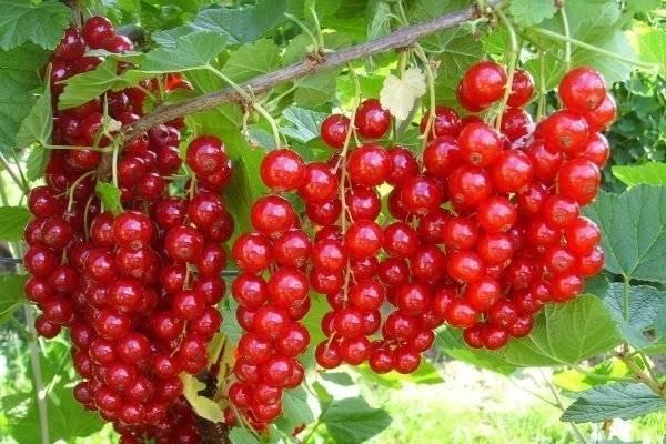 Красная смородина мармеладница — ягоды грибы