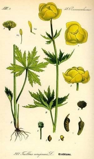 Купальница — лечебные свойства, применение и рецепты