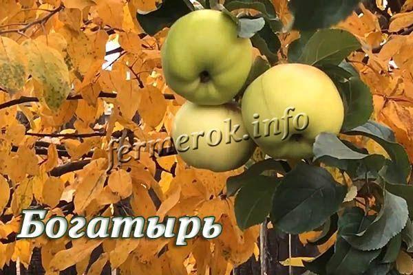 Яблоня богатырь — описание сорта, посадка и уход