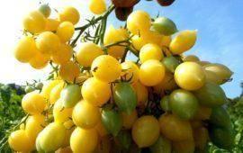 Помидоры клубничное дерево: описание, особенности выращивания дома и на подоконнике