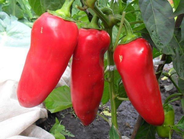 Перец атлант: обзор сорта и советы по выращиванию