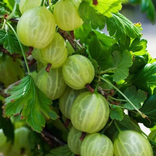 Крыжовник гроссуляр: характеристика, особенности выращивания и размножения