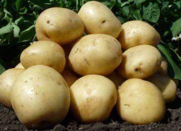 Картофель скарб: описание сорта, фото, отзывы