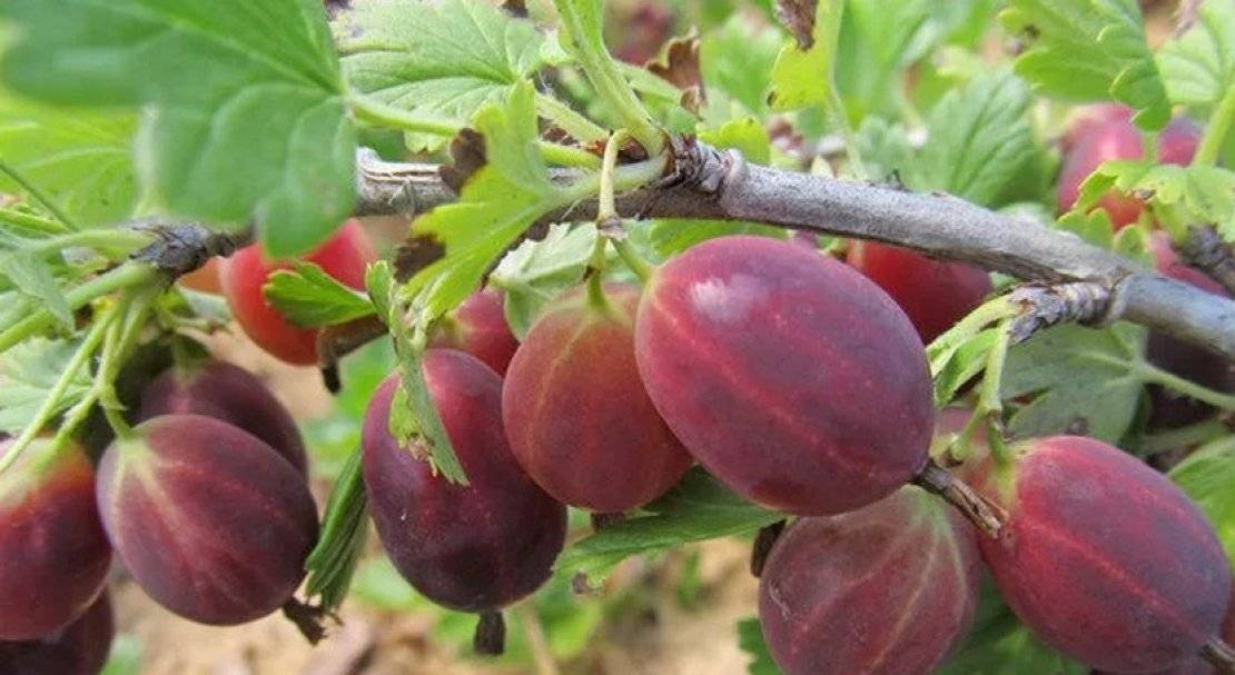 Крыжовник сорт каптиватор: красивые ягоды превосходного вкуса
