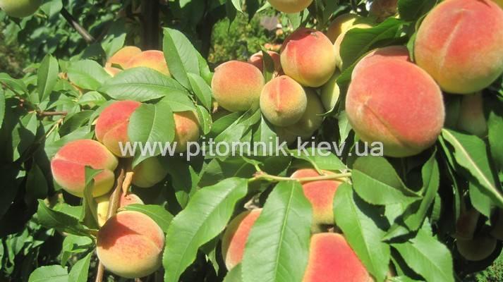 Как выращивать персик сорта киевский