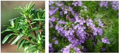 Чабер садовый: полезные свойства