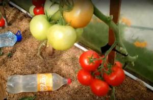 """Томат """"евпатор"""": характеристика и описание сорта, урожайность и фото"""