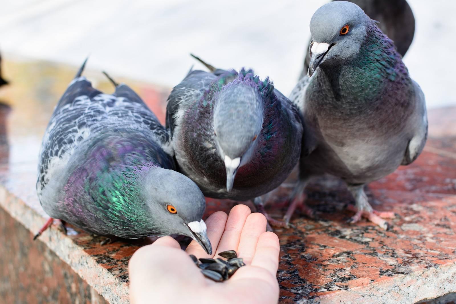 Чем кормить голубя? 22 фото чем они питаются зимой на улице и в природе? корм для птенцов, кормление уличных птиц. какие можно давать минералы домашним голубям?