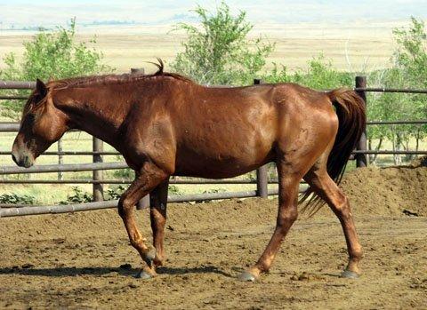 Кушумская лошадь