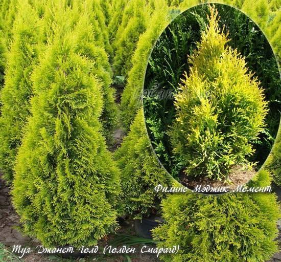 Холмструп: туя западная, посадка и уход, выращивание и размножение