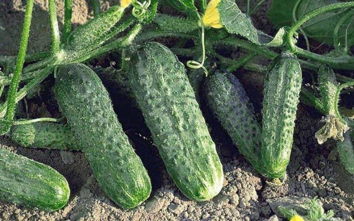 Огурец маша f1 — сорта раннего срока созревания, фото урожая и отзывы садоводов