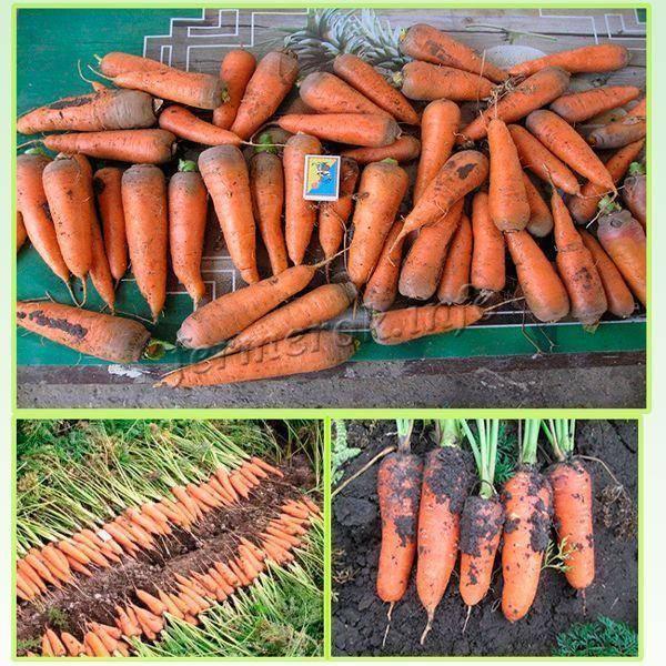 Самые лучшие сорта моркови для открытого грунта: сочные, сладкие, урожайные и для зимнего хранения