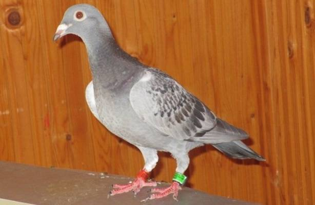 Болезни голубей — симптомы, профилактика и лечение инфекционных и неинфекционных заболеваний (140 фото)
