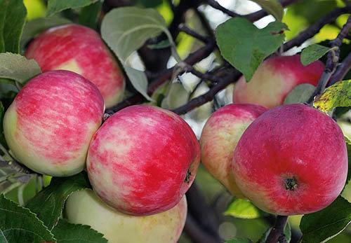 Урожайная яблоня серебряное копытце