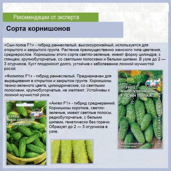 11 популярных сортов огурцов для засолки и консервирования