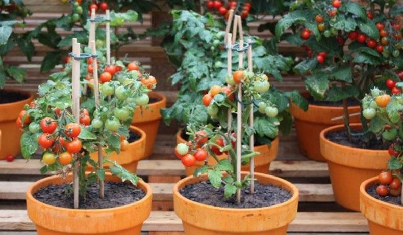 Выращиваем помидоры прямо на подоконнике или экологически чистые помидоры на расстоянии руки!
