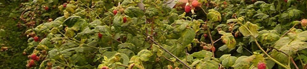 Описание сорта малины метеор — как поднять урожайность