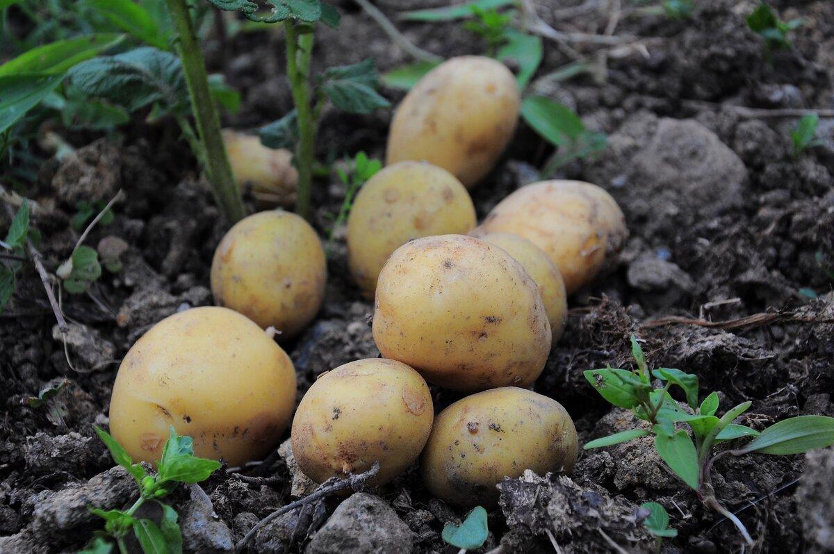 Борьба с колорадским жуком на картофеле и проволочником: препараты и народные методы
