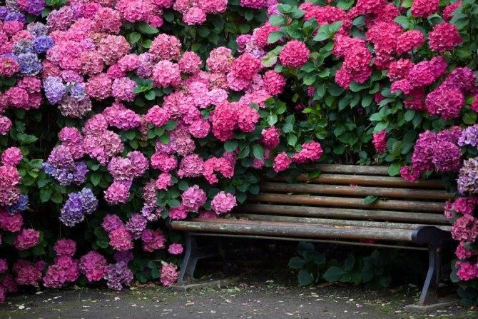 Подкормка метельчатой гортензии весной для цветения