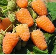 Малина оранжевое чудо: описание оригинального сорта, отзывы, особенности выращивания и ухода
