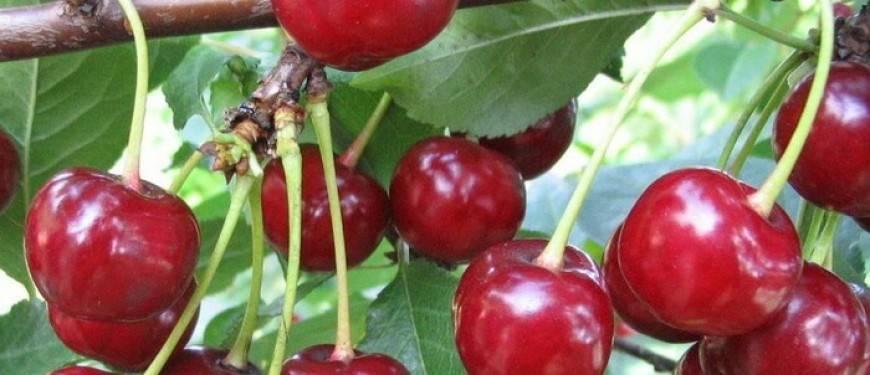 Описание и характеристики вишни сорта малиновка, лучшие регионы для выращивания