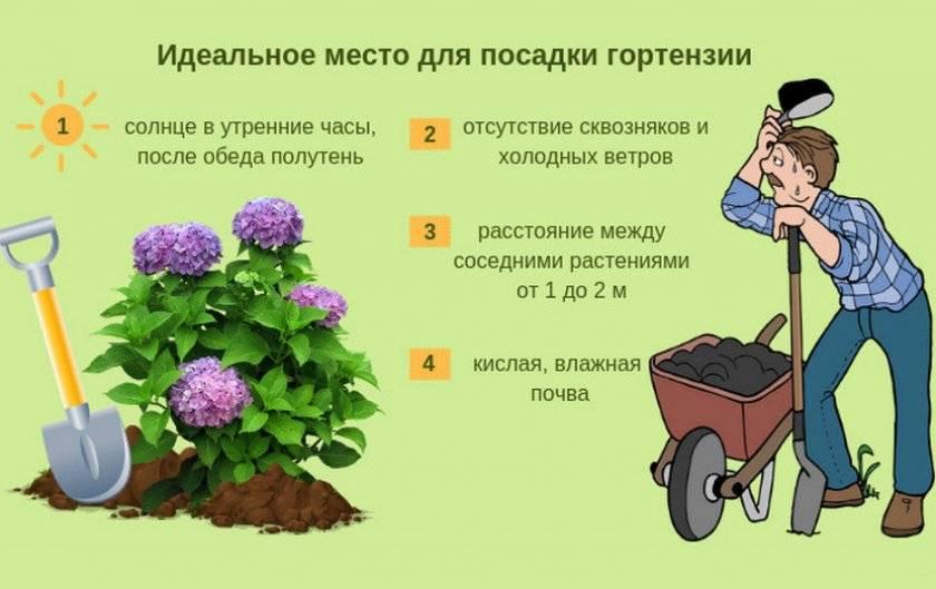 Правила пересадки гортензии осенью на другое место