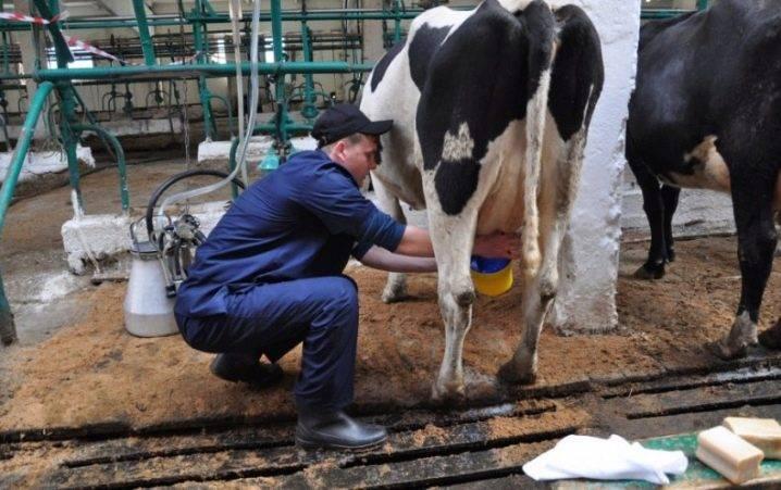 Разновидности привязного содержания коров, преимущества и недостатки, важные правила