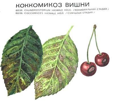 Коккомикоз вишни – как эффективно и быстро вылечить дерево?