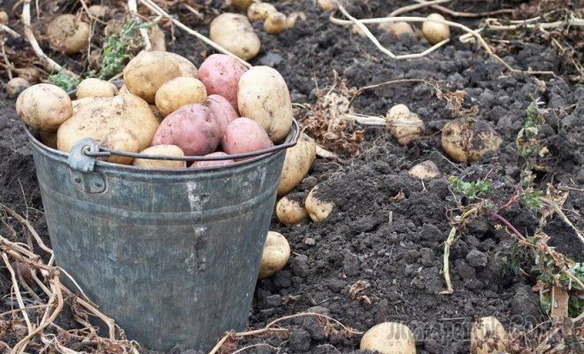 Когда лучше копать картошку на хранение