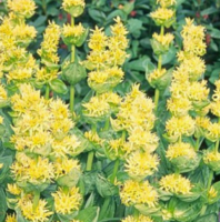 Горечавка желтая: лекарственные свойства и выращивание