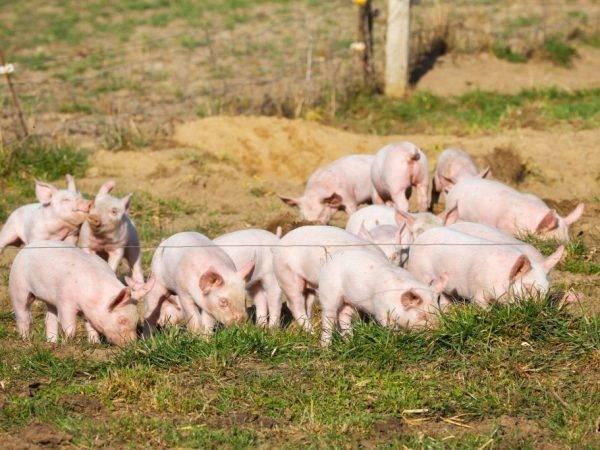 Откорм свиней