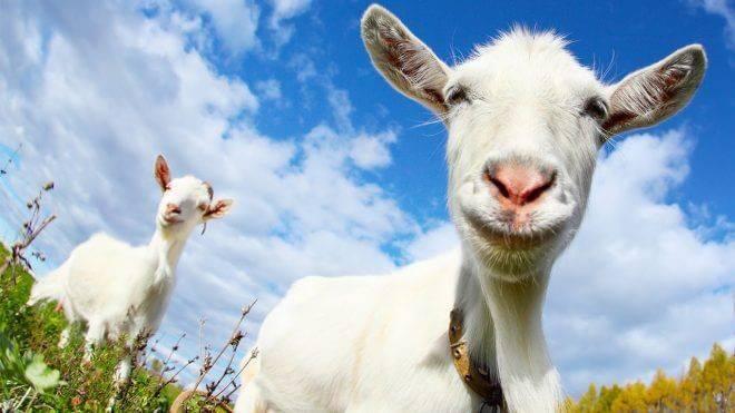Козий навоз — полезные свойства, правила использования и хранение