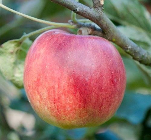 Яблоня орловское полосатое — морозостойкий сорт, дающий до 80 кг плодов с дерева