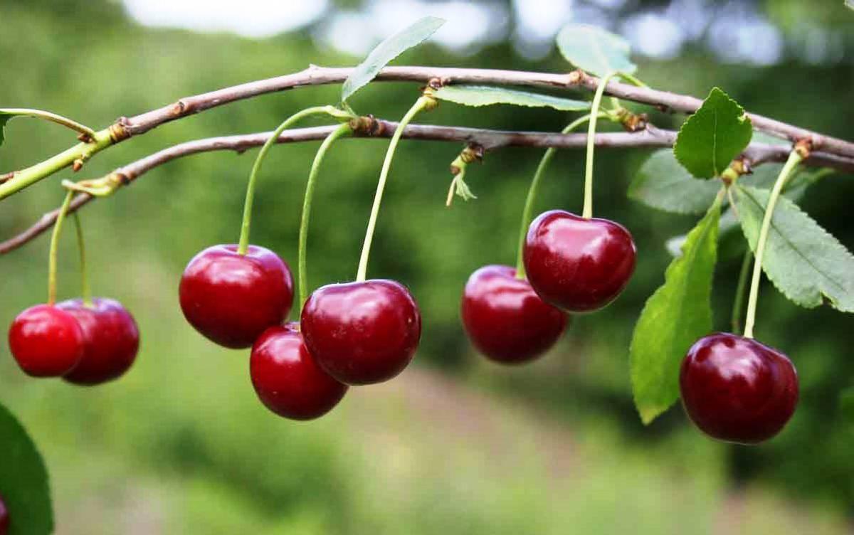 Чем отличается вишня от черешни