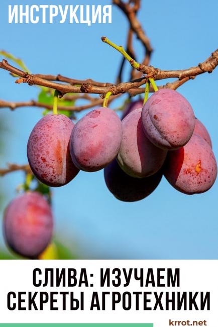 Как вырастить сливу в сибири и других северных регионах