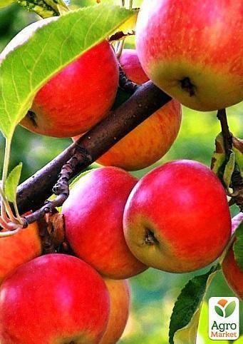 Зимняя яблоня кортланд