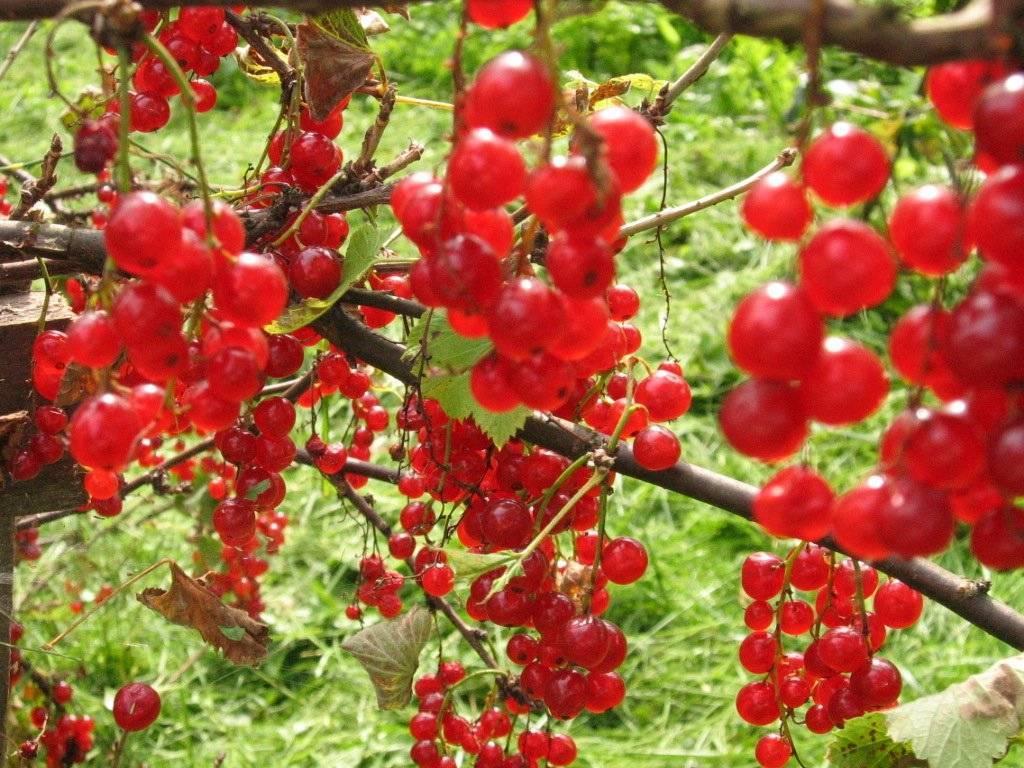 Красная смородина натали — гарантия красивого и обильного урожая