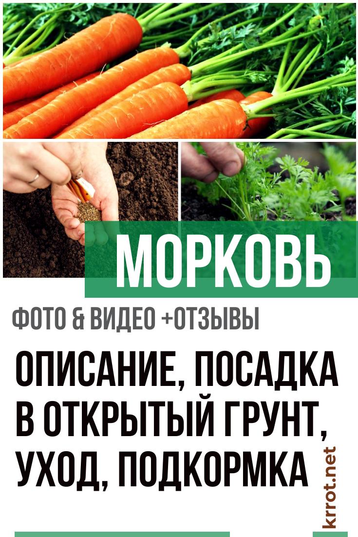 Морковь сластена: отзывы, фото, урожайность
