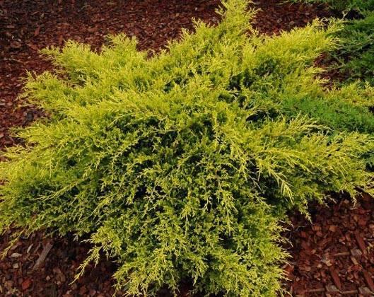 Выращивание можжевельника сорта олд голд средний