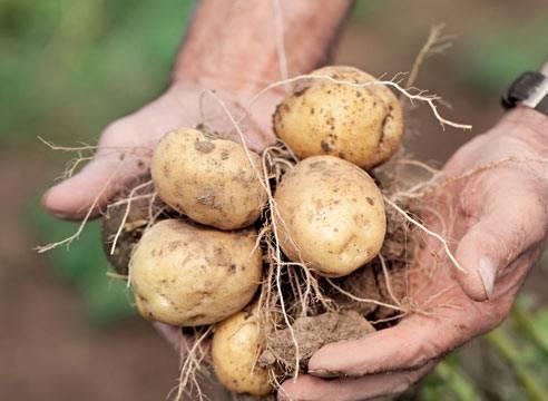 Сорт картофеля «лабадия (labadia)» – описание и фото