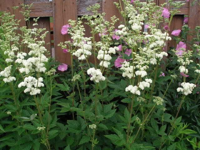 Выращивание лабазника в открытом грунте: размножение, особенности ухода, сортовое разнообразие