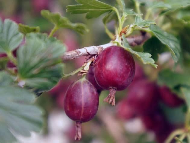 Обработка крыжовника от болезней, мучнистая роса на ягодах и кустах: причины появления, методы борьбы