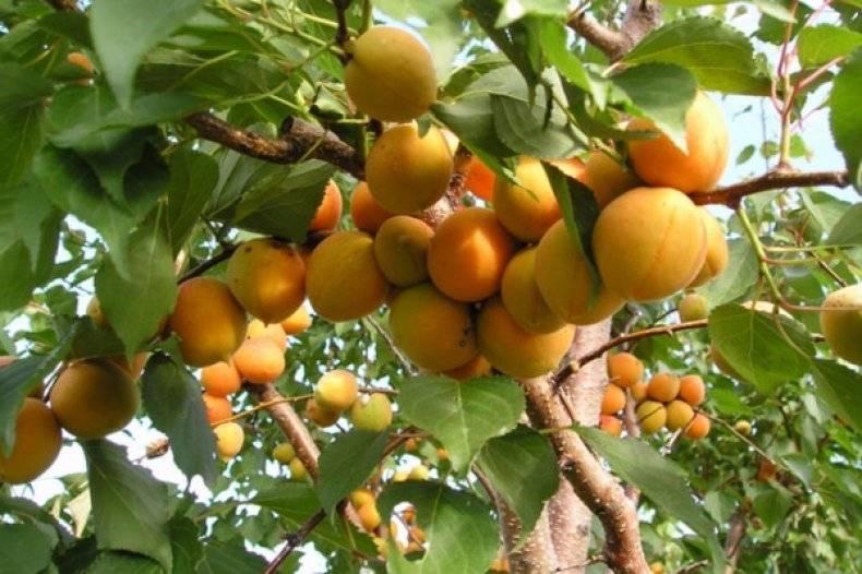Карликовые плодовые деревья для сада