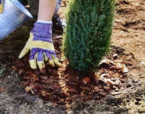Подкормка туи в разные времена года, чем лучше подкармливать дерево