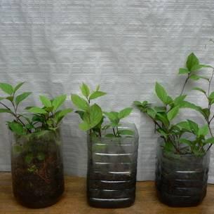 Лимонник китайский (дальневосточный) — лекарственное растение, фото, полезные свойства