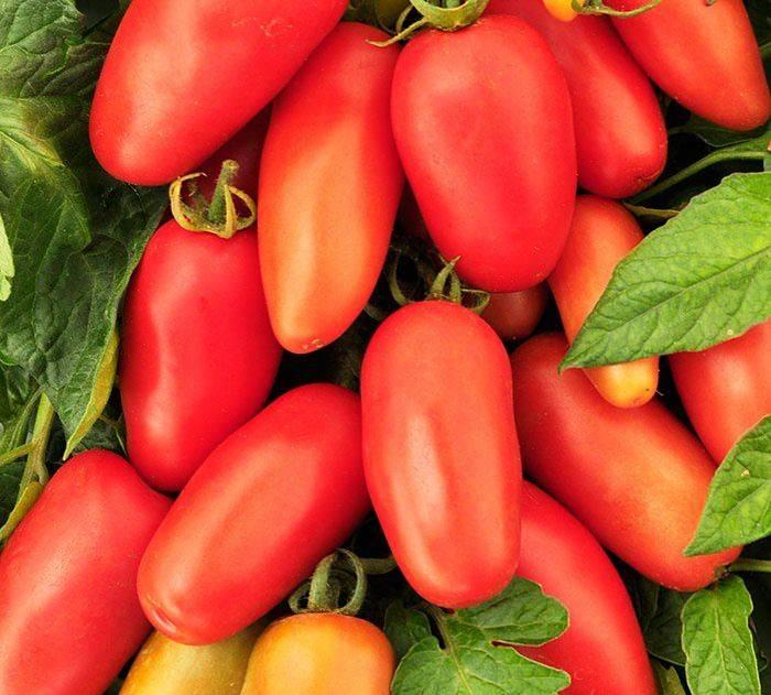 Почему огородникам так нравится томат «деликатес» и как его вырастить на своем участке, получив обильный урожай