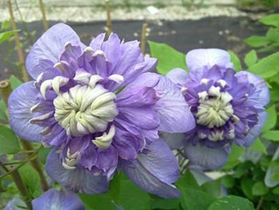 Клематис мульти блю (multi blue): фото и описание сорта, морозостойкость