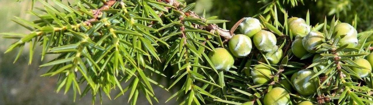 Лечебные свойства можжевельника: польза и вред для организма